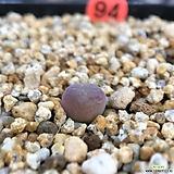 코노피튬-마우가니피치칼라 94|Conophytum maughanii