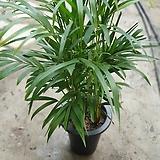 아레카야자목대좋음 잎끝상처있음 초특가 70~90cm|