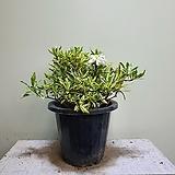 무늬치자나무 중품 공기정화식물 25309950|
