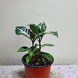 아펠란드라소품 공기정화식물 15203520|