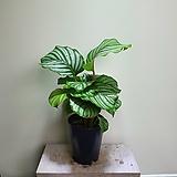 오르비폴리아대품 수입식물 공기정화식물 355023915|
