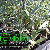 세이지(커먼세이지 Common sage, Garden sage) 허브모종 900원(단품목 5000원 이상배송가능)|Hub