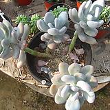 홍미인대품85|Pachyphytum ovefeum cv. momobijin