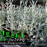 산토리나 (코튼라벤다 Santolina) 허브모종 700원(단품목 5000원 이상배송가능)|