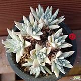 화이트그리니 0651|Dudleya White gnoma(White greenii / White sprite)