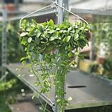 디시디아그린옷걸이공중식물|