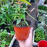 라디아타유칼립투스 소품 수입식물 15~25cm|