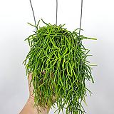 폴리카파 / 립살리스 / 행잉플랜트 / 공기정화식물 / 한빛농원|