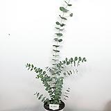 유칼립투스 / 비염효능 / 공기정화식물 /사진상품발송 X-061/ 한빛농원|
