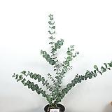 유칼립투스 / 비염효능 / 공기정화식물 /사진상품발송 X-062/ 한빛농원|