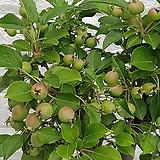 ♥애기 사과나무 ♥열매 많이 달려 있습니다,|