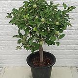 ♥사과나무 (부사) ♥열매 많이 달려 있습니다,|Sedum torereasei