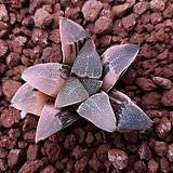 하월시아 코렉타금|haworthia