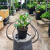 무지뱅갈고무나무 중품 관엽식물 30~35cm|