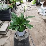 소엽스파트필름중품 알찬식물 35~45cm|