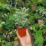 백사철 무늬백사철 소품 공기정화식물 15~20cm|