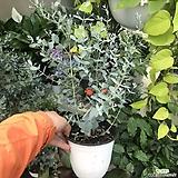 유칼립투스(공기정화식물)기관지완화식물|