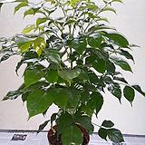 해피트리 [녹보수 공기정화식물 ]|happy tree