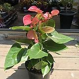 핑크핑크 안시리움|Anthurium andraeaeanum