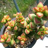 브레비폴리아0618-1|Crassula Brevifolia