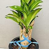 미남형녹보수공기정화식물해피트리관엽식물 60~80cm