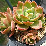 핑크베라(자연군생)0618-2|
