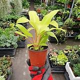 형광덴드롱 소품 공기정화식물 15~20cm|