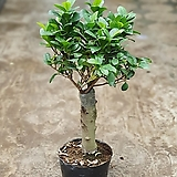 펜다펜더외목대관엽식물 공기정화식물 50~70cm|