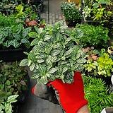 휘토니아 기본 소품 공기정화식물 10~20cm|