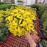 독일아이비 소품 수입식물 꽃이피고지고함 15~30cm|
