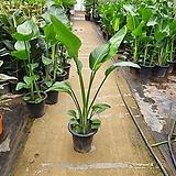 극락조 2촉 대품 공기정화식물 120~150cm|