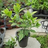 레몬나무과실수중품열매 30~40cm|