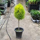 대왕핫도그율마 허브 대품 공기정화식물 외목대 8012049930|