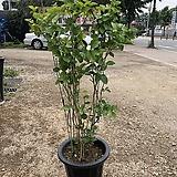 함박 자스민 (사진식물/꽃향기가 너무 좋아요!)|