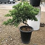 누운 향나무 (사진식물)|