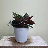 칼라데아로세오펙타 중품 음지식물 253510950|