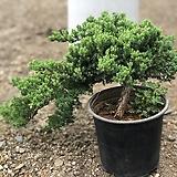 누운 향나무(사진식물)|