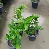 왕레몬나무 열매있음 과실수 558039920|
