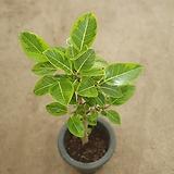 뱅갈고무나무 특공대상품 공기정화식물 709016980|