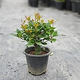 목향나무 관엽식물 35459960|