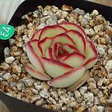 멕시코폴덴시스 Echeveria Pulidonis