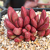클라바타 Pachyveria clavata