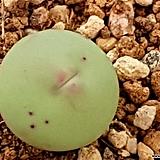 칼큘러스반질리|Conophytum vanzylii