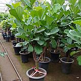 떡갈고무나무-초미세먼지탁월특대분갈이|Ficus elastica