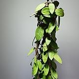 호야파라시티카 수입호야 공중식물 709039925|Hoya carnosa