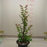 다이나마이트베롱나무 