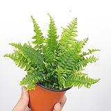 보스톤고사리 / 보스턴고사리 / 공기정화식물 / 한빛농원|Nephrolepis exaltata Bostoniensis