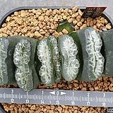 옥선 실생 (마지막 잎장에 금 품고있음) Haworthia truncata