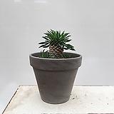 괴마옥 선인장 미니화분(완성분) 파인애플선인장|Euphorbia hypogaea