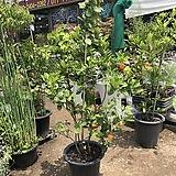 유주나무 특대품 150~|